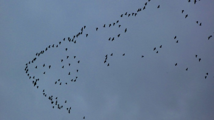 Geese Migrating